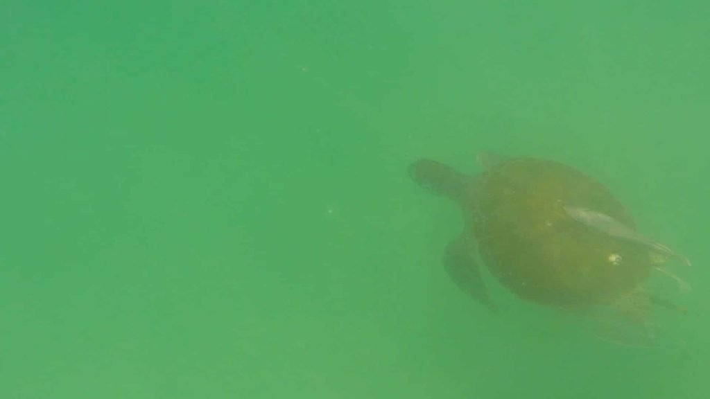 Paddle Boarding in Destin Florida -Sea Turtle below board